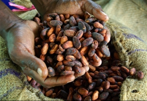 Dried cocoa beans ready for export ADB